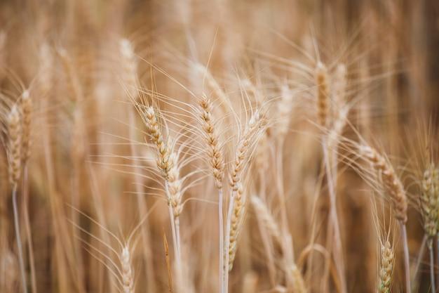 麦畑で黄金の熟した大麦植物のクローズアップ
