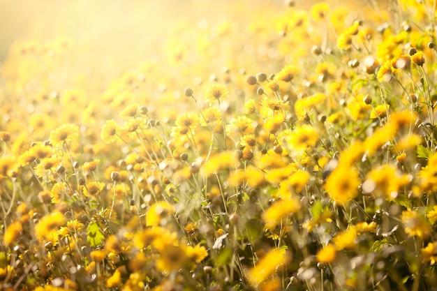 背景のためのフィールドの美しい黄色の菊花