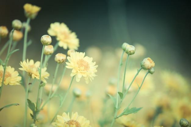 フィールドで美しい黄色の菊花