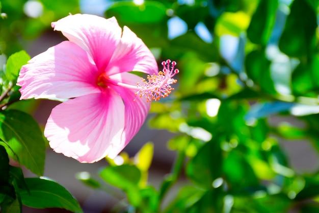 美しいピンクのチャバ花、ハイビスカス・ロサ・シネンシスまたは靴の花と葉。