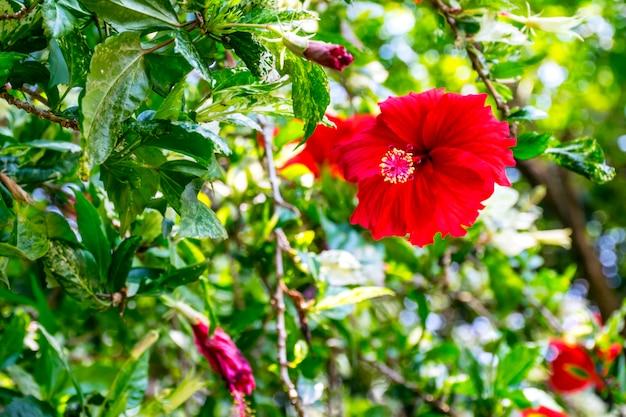 美しい赤いチャバの花、ハイビスカス・ロサ・シネンシスまたは靴の花と葉。