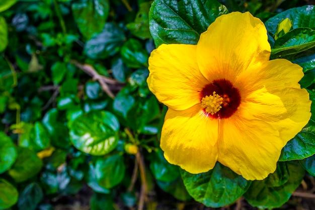 美しい黄色のチャバ花、ハイビスカス・ロサ・シネンシスまたは靴の花と葉。