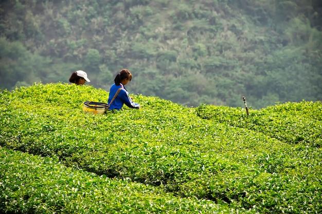 女の子は丘の中に茶葉を集めています