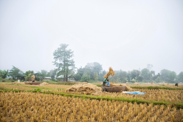 農民は地面で田んぼを打っていた