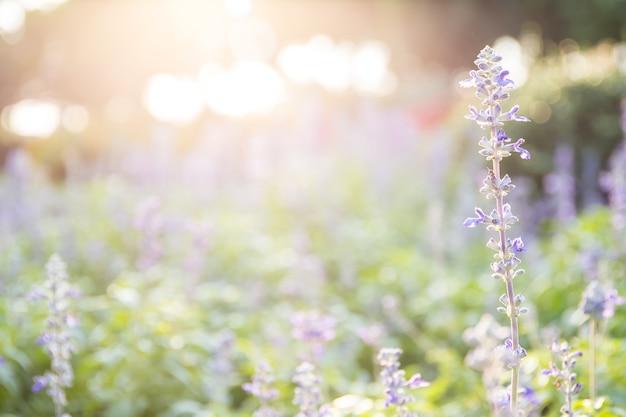 晴れた日のフィールドでラベンダーの花