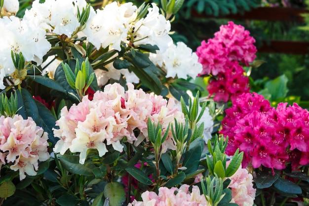 春の庭でさまざまな色のシャクナゲ(ツツジ)花