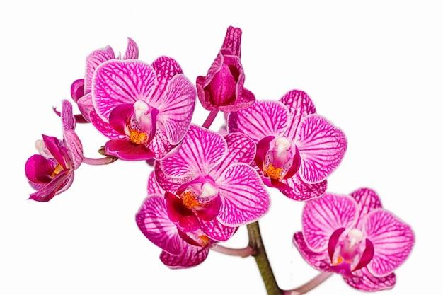 色違いの美しい蘭の花。胡蝶蘭雑種。