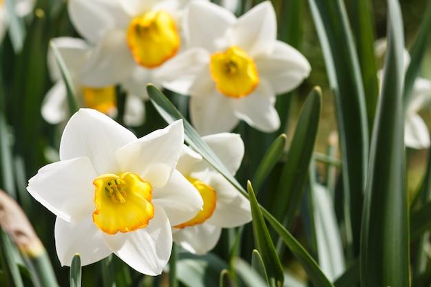 オレンジと黄色の中心と白い水仙(水仙)