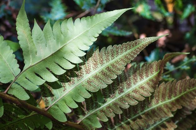 胞子を伴う装飾的なシダの葉
