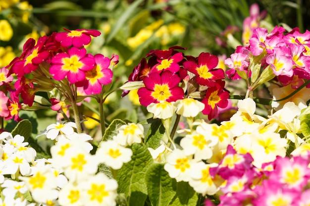春の庭の紫、ピンク、黄色、白の桜草。