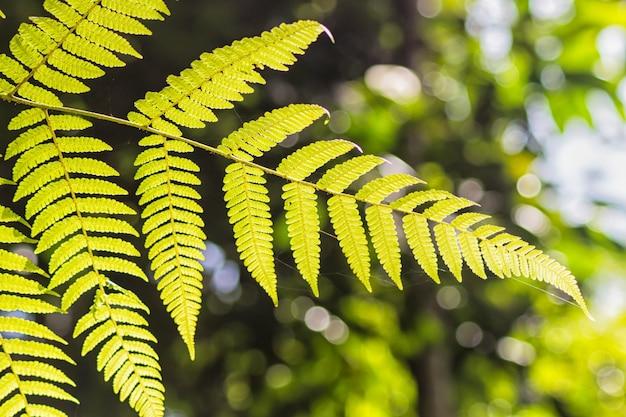 装飾的な明るいゴールデンファーンの葉