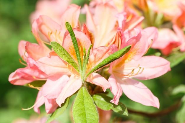 春の庭の様々な色のシャクナゲ(ツツジ)花