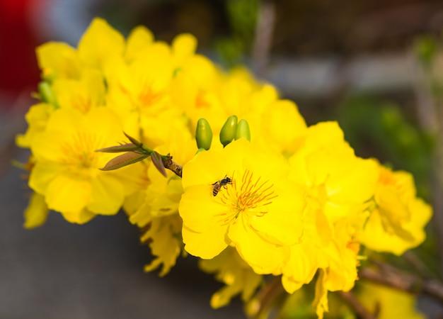 若い葉と黄色のアプリコットの開花枝
