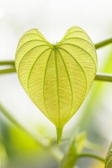 Молодые светло-зеленые листья тропических лиан в ботаническом саду