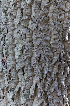 アムールコルクの灰色の樹皮のテクスチャー