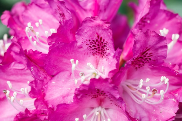 春の庭のシャクナゲ(ツツジ)さまざまな色の花