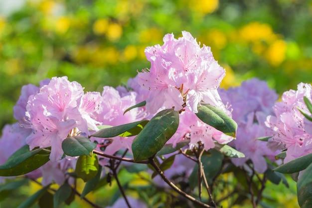 植物園に咲くシャクナゲ