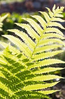 明るい緑のシダの葉