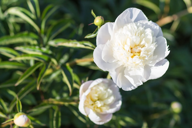 Розовый пион цветок