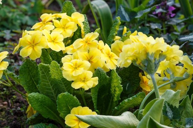 プリムローズまたは春の庭のプリムラ