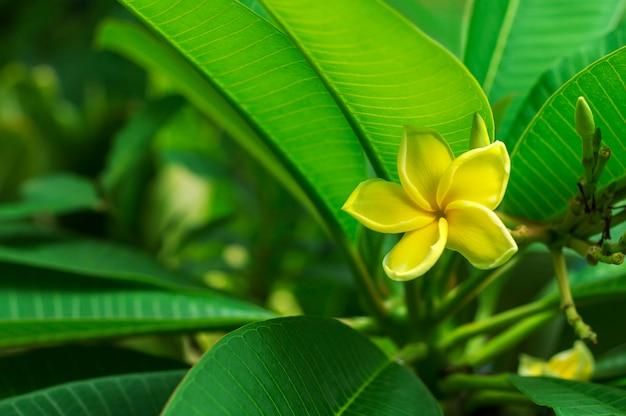 葉の背景を持つ黄色のプルメリアの花