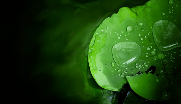 雨が降った後の蓮の葉の水滴