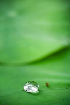 ハスの葉の小さな虫と水滴の関係