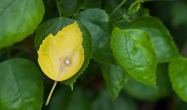 Старые листья гибискуса на ветке поменялись на желтые