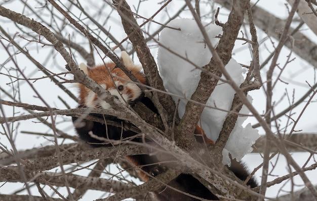 雪の中に隠れているレッサーパンダ