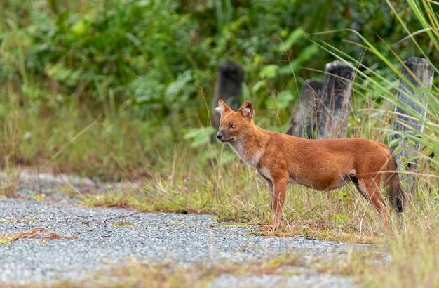 ドールまたはアジアの野生の犬が歩く