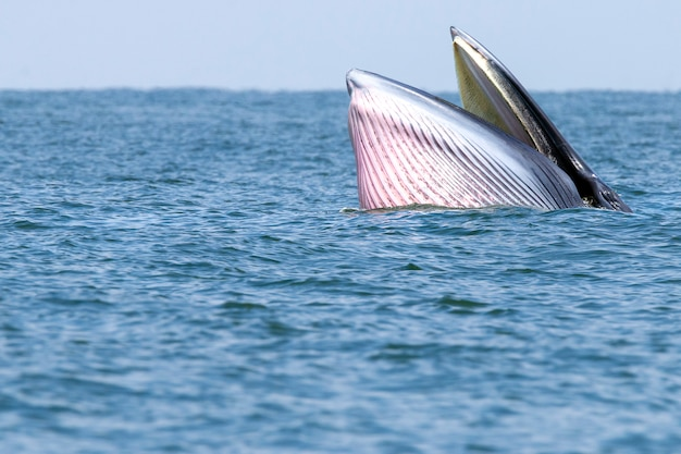 タイ海でニタリクジラが泳ぐ