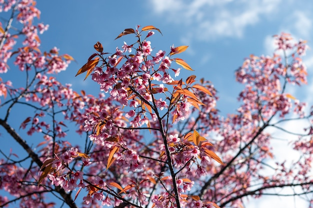 Цветение сливы в голубом небе