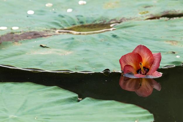 赤い花のある池の蓮の葉