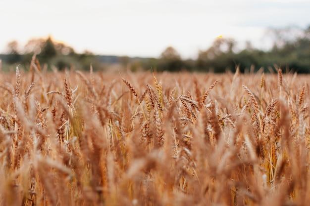 自然の夕日を背景にロシアの美しい麦畑をクローズアップ