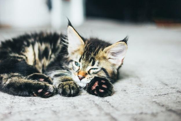 小さな灰色の眠っているストライプ子猫メインクーン数ヶ月床に横たわって
