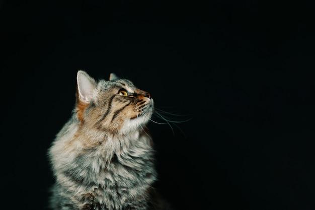 Полосатый пушистый кот.