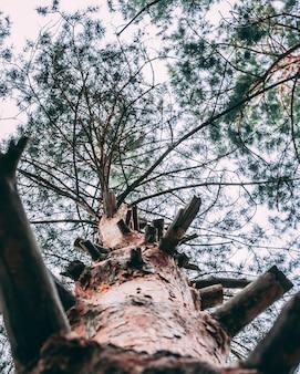 多くの枝を切り取った古いトウヒの木