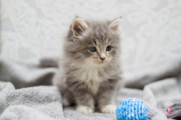ふわふわの灰色のペルシャメインクーン子猫は小さな青いボールで遊んでいます。