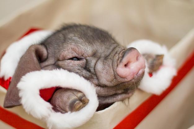ギフトのプレゼントボックスに小さなサンタの豚。クリスマスと新年のカード。