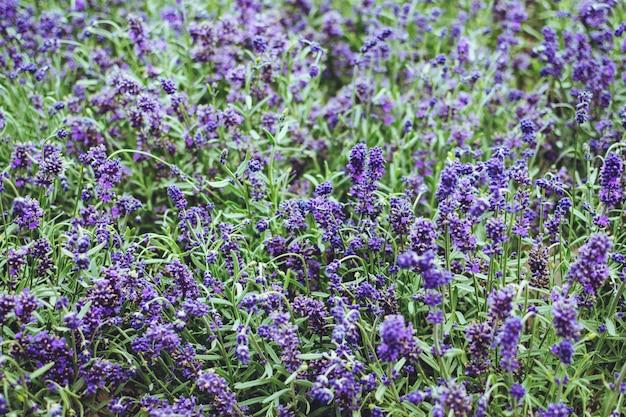 Лаванда цветок крупным планом