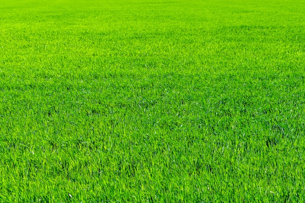 若い小麦の畑、苗、土壌の成長。