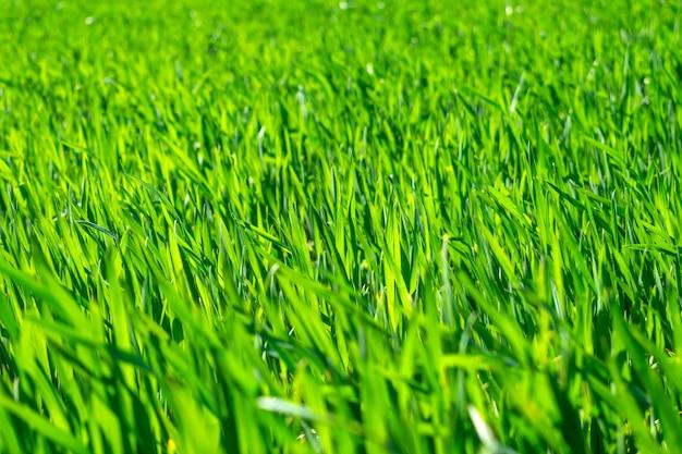 若い小麦の畑、苗の土壌での成長