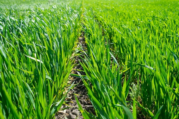 春、土壌で成長している苗の若い麦畑
