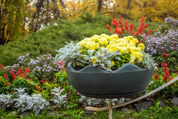 大きな鉢に明るい黄色の品種の菊