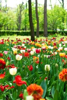 Тюльпаны весной крупным планом