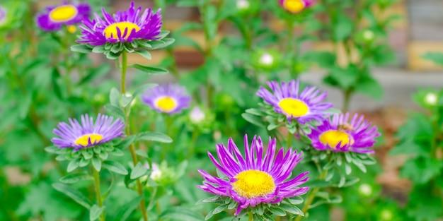 庭の紫色のデイジー。自然の壁紙。