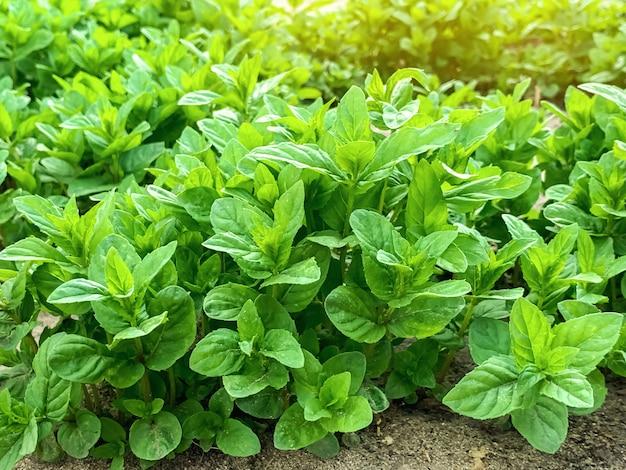 緑の若いミントの新鮮な葉