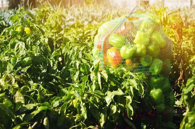 フィールドに新鮮なピーマンの袋。環境に優しい製品。農業と農業。