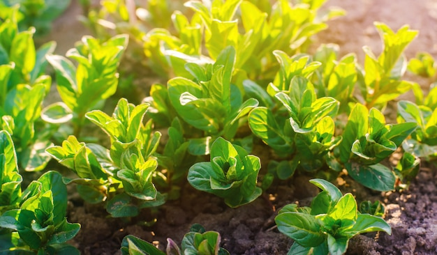 Свежие листья зеленой молодой мяты растут в саду в солнечный день. натуральные обои.