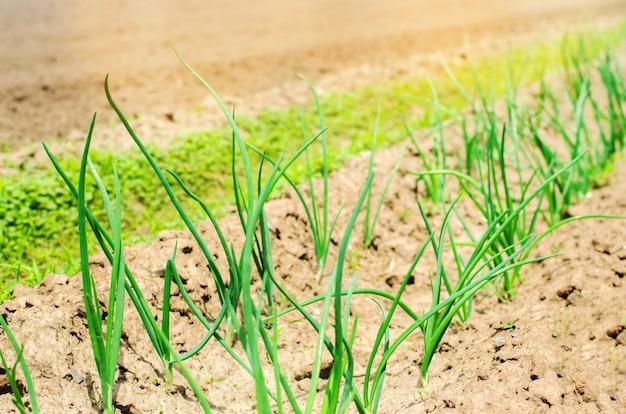 フィールドで成長している若い緑のネギまたはタマネギ